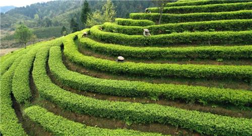 广西龙胜:茶叶产业助力群众增收致富
