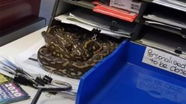 蟒蛇钻到办公桌上的文件柜里 捕蛇人一眼识破出手抓获