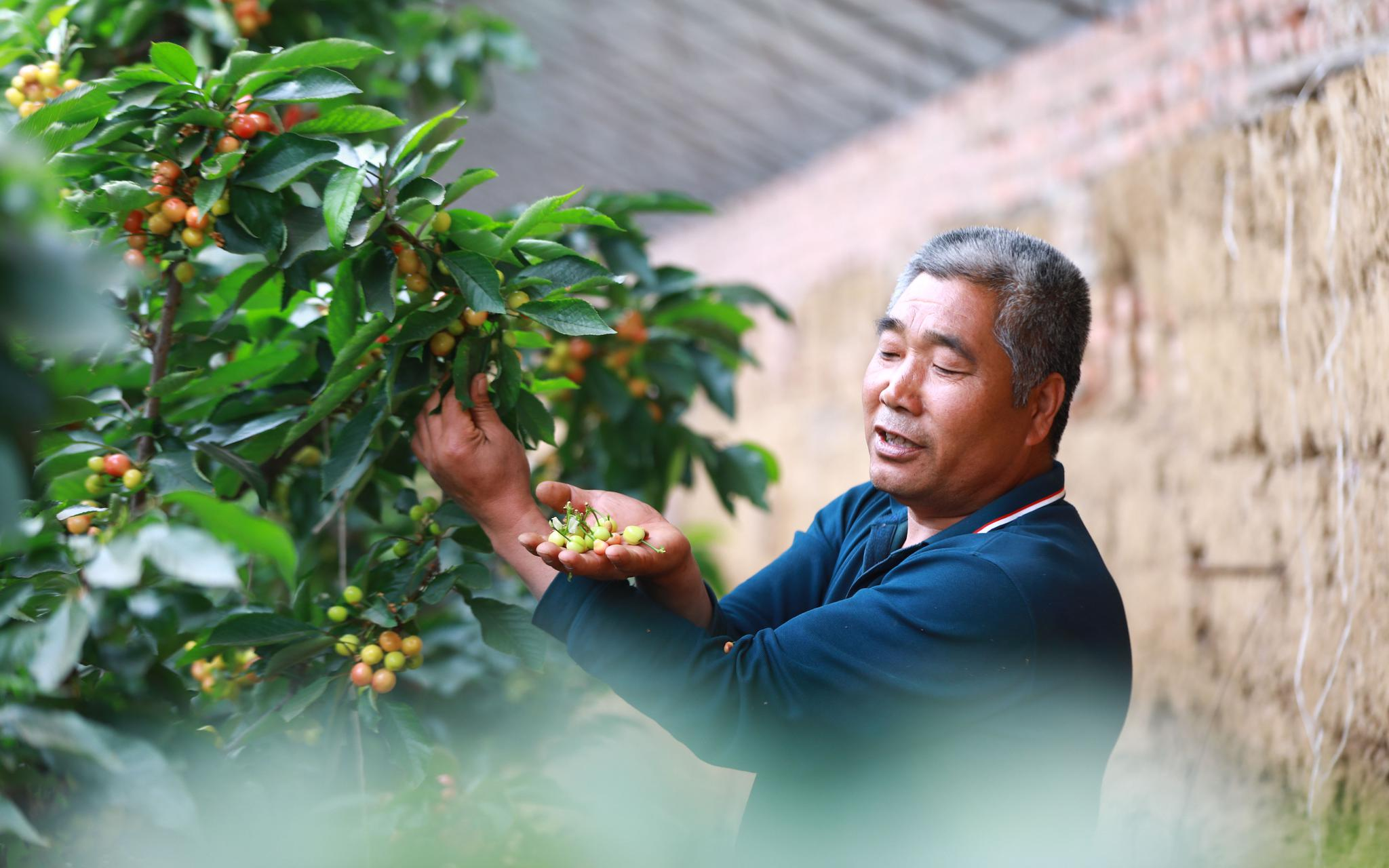 平谷头茬樱桃开摘 品质和产量不受疫情影响图片