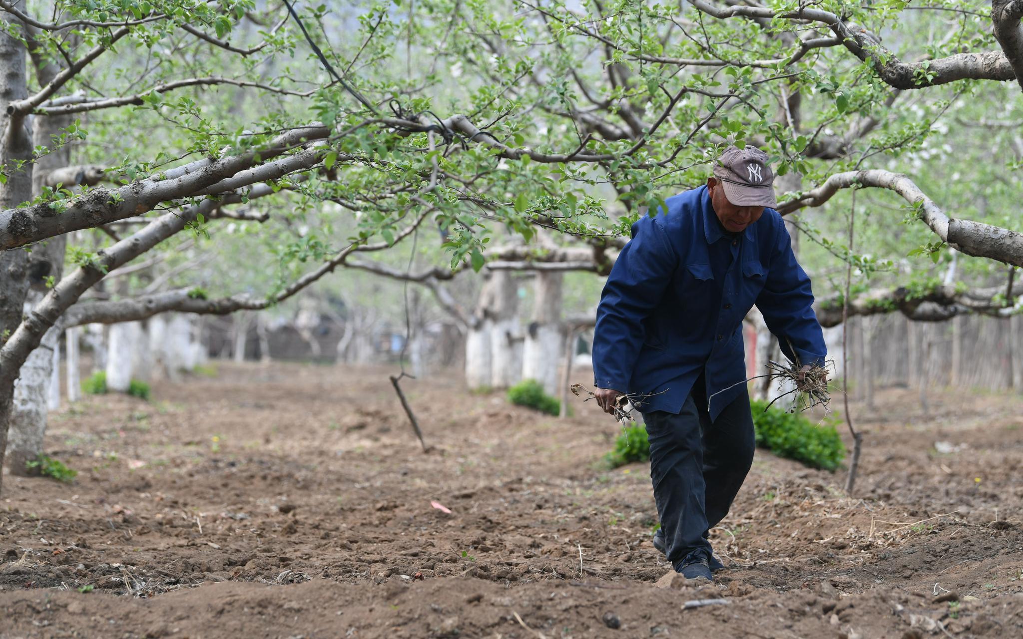 现场‖苹果花开了,种树的人老了图片