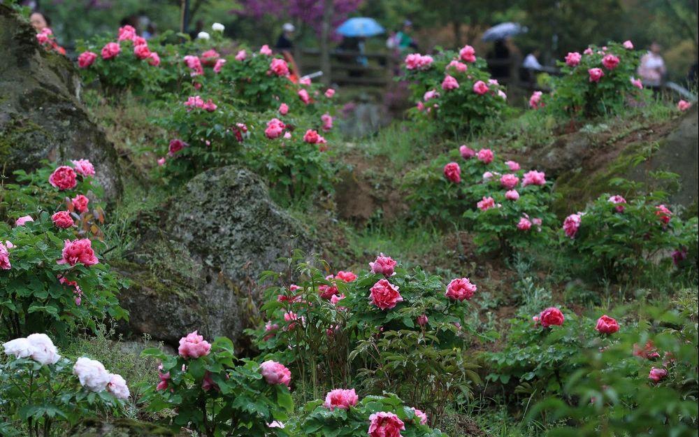 自然科学,谷雨赏花还能赶上末班车四川自然科学丹景图片