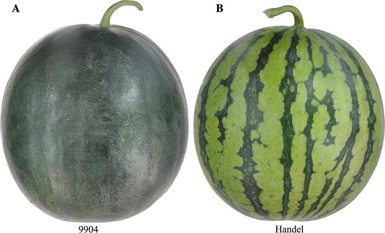 西瓜皮为何有不同颜色? 科学家揭示其中遗传原理图片