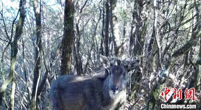 野生中华斑羚 仙居发布供图