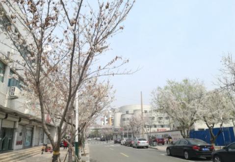 潍坊网红广通路今年静悄悄!不少樱花树只剩下枯枝