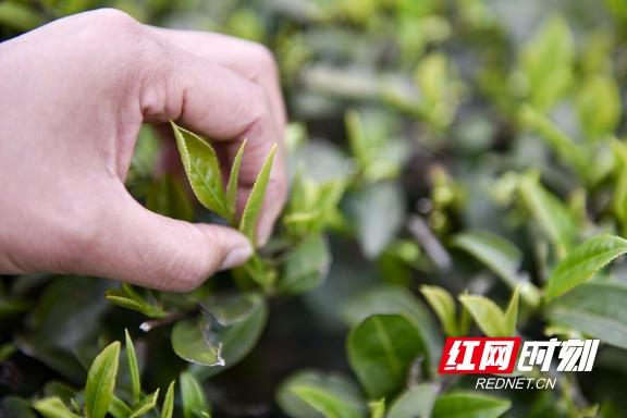航拍沅陵:明前碣滩茶开采