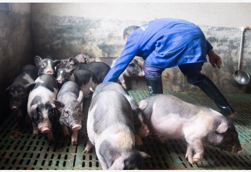 """农业农村部专项整治违法调运生猪:建立运输车辆黑名单制度,发现""""三无""""生猪就地就近隔离15天"""