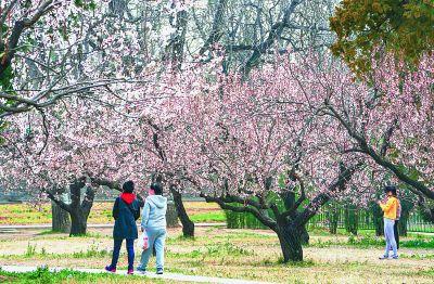 北京天坛公园:大片杏花绽放枝头