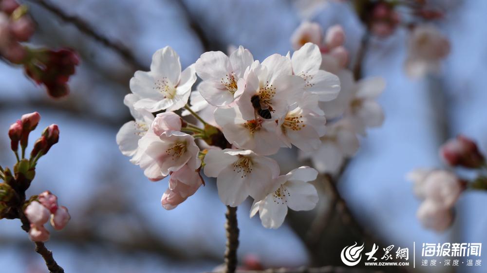 VR、直播、线上预约……中山公园赏樱的新玩法