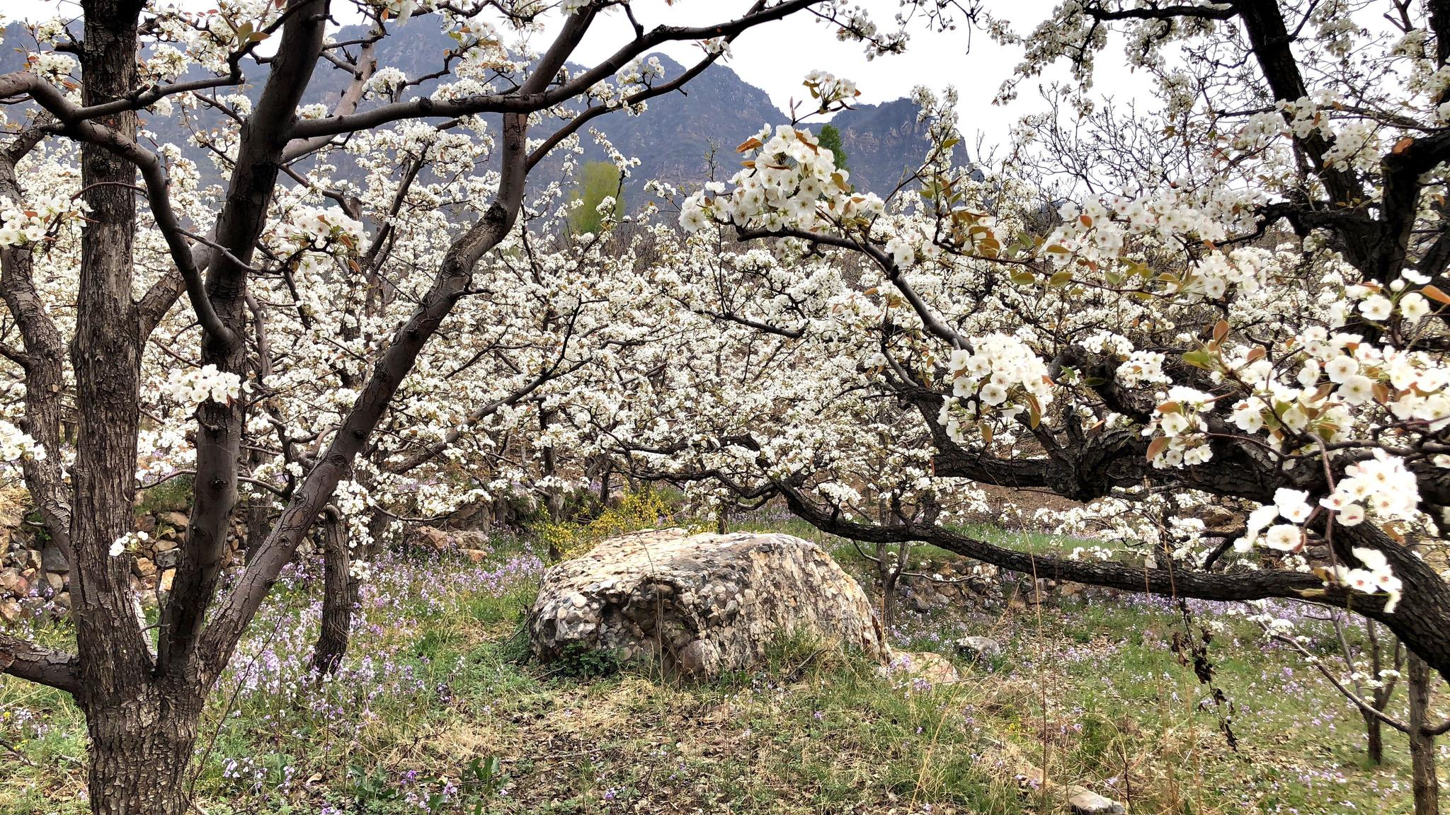 摩天开户,平谷镇罗营摩天开户万亩梨花开图片