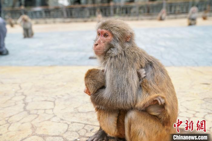 图为巴腊猴山的猕猴。陈冠言 摄