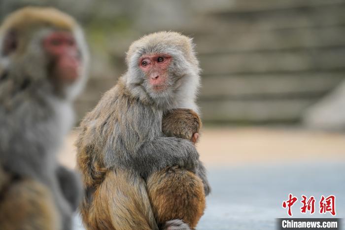 图为巴腊猴山的猕猴。 陈冠言 摄