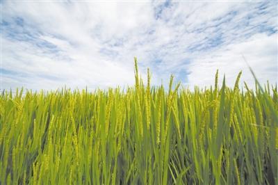 海稻86为何不怕咸? 测序技术锁定水稻关键耐盐基因
