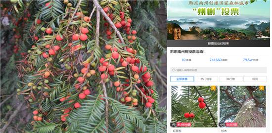杏悦官网:州花正式确定红杏悦官网豆杉杜图片