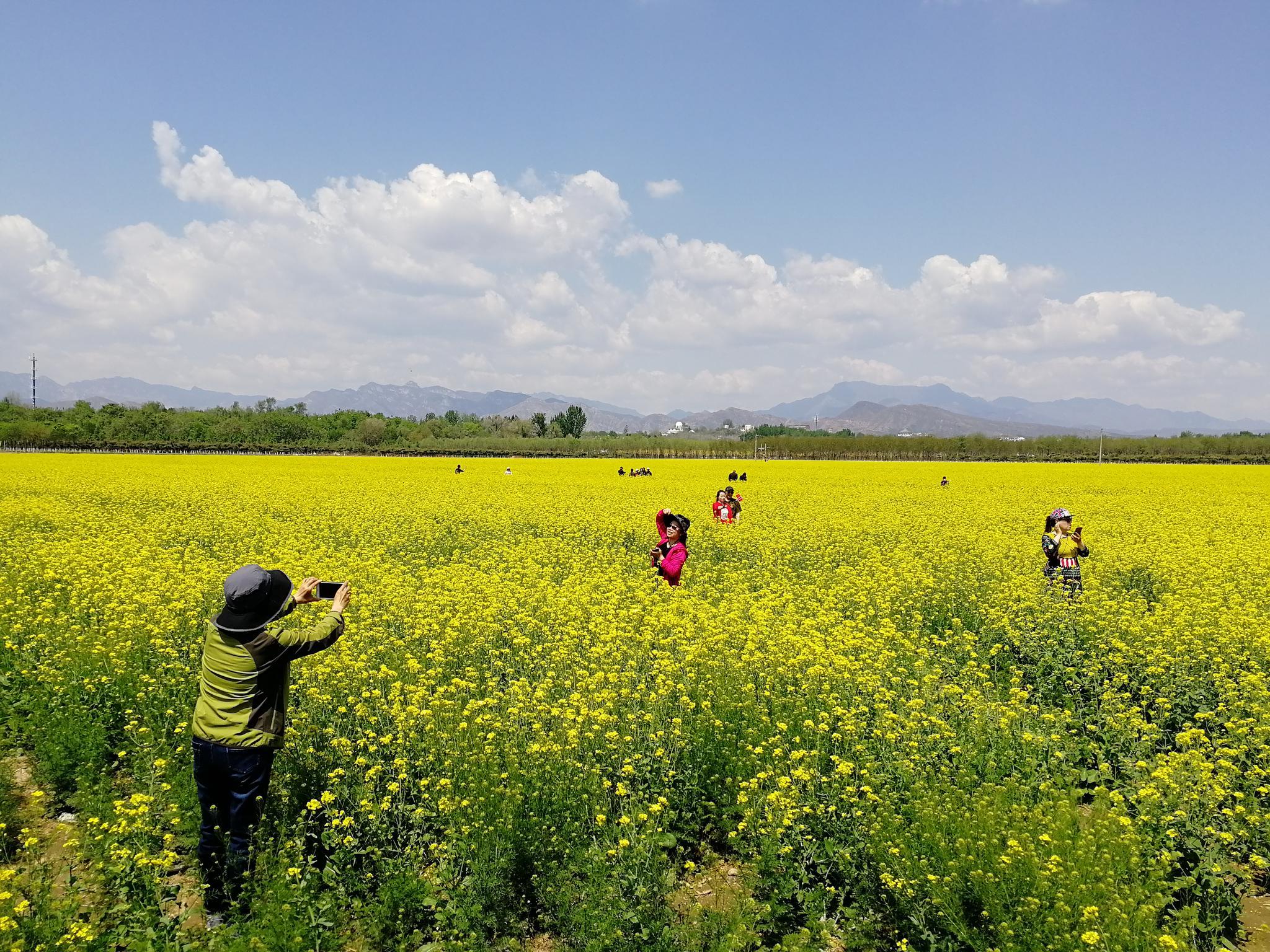 摩天平台:菜花摩天平台北京14万亩景观农田图片