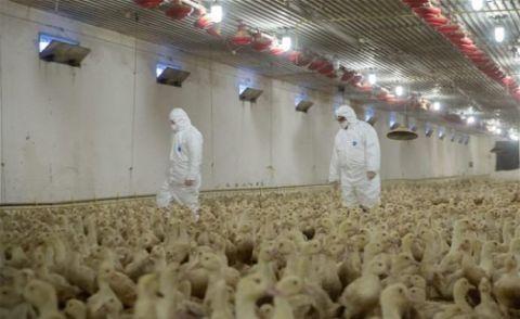 匈牙利南部暴发H5N8型禽流感疫情,350万只家禽被扑杀