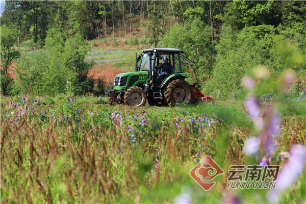 云南罗平:绿肥滋沃土 生态美田园