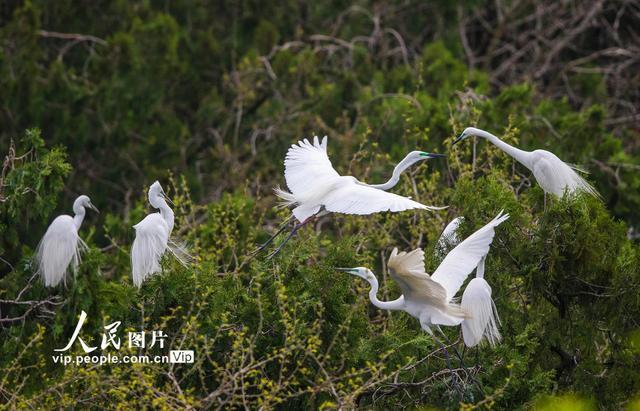 江苏泗洪鸟类种群增加至206种 大批白鹭在此筑巢安家