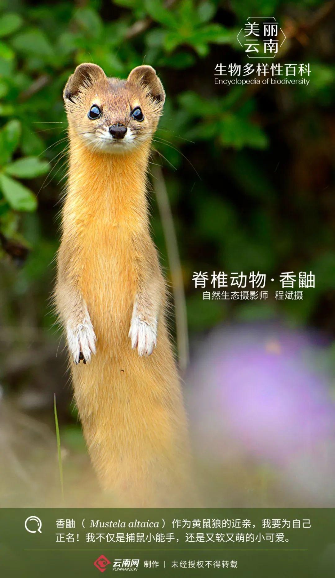 【生物多样性百科】脊椎动物·香鼬:虽然是黄鼠狼亲戚,但我们真不偷鸡