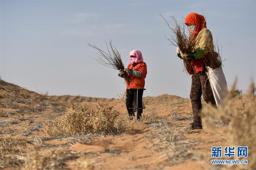 腾格里沙漠治沙忙