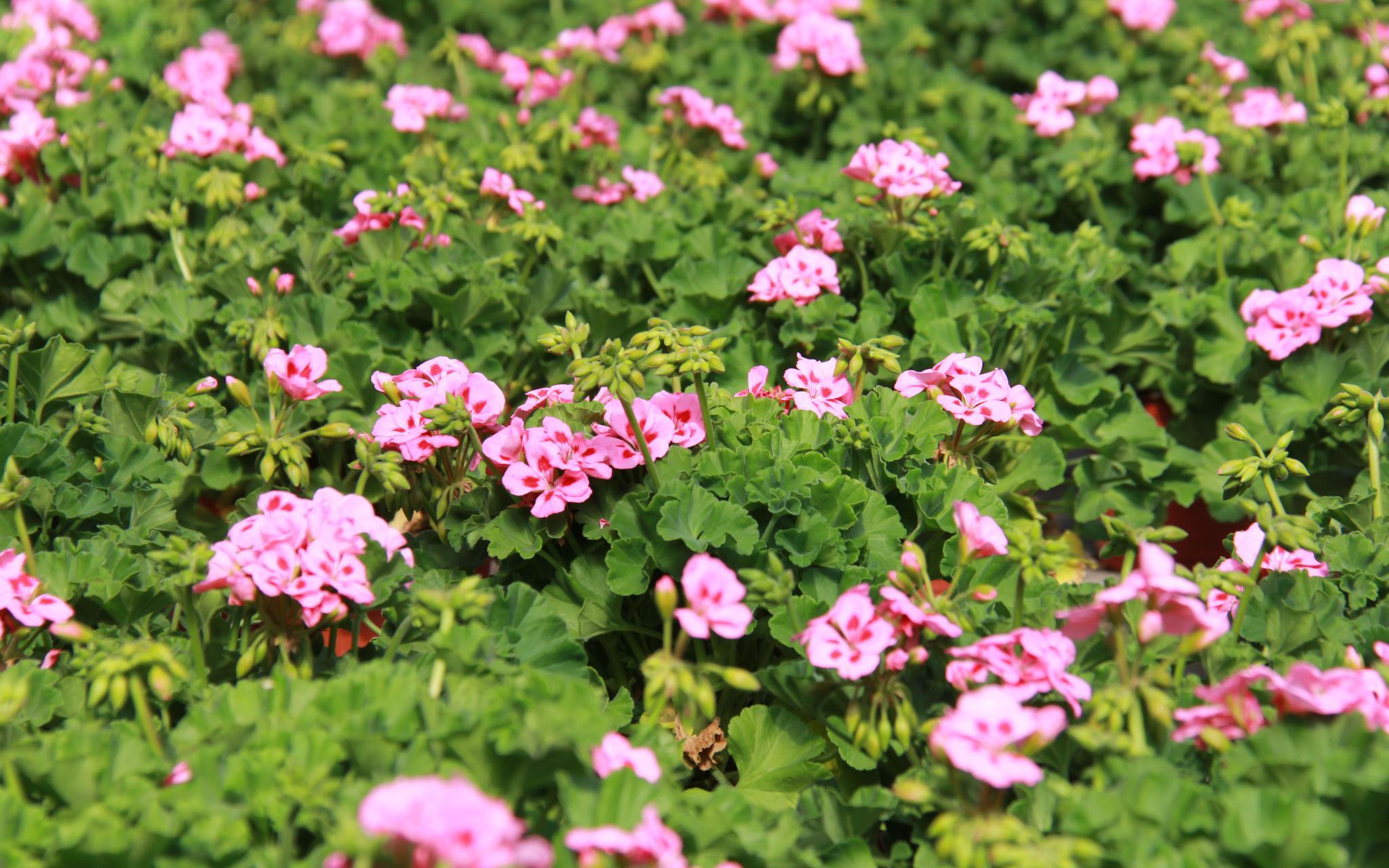 恒行:花卉恒行种植忙平谷马昌营镇百亩图片