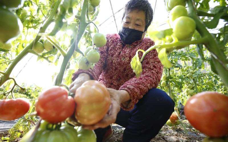 """""""找回四十年前的老味道"""" 平谷夏各庄镇西红柿成熟上市图片"""