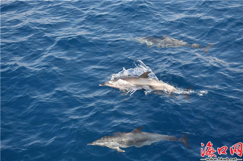 自由游曳、腾空戏水!海南三亚附近海域再现海豚群