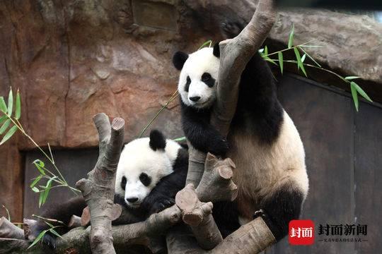 """有望""""添丁"""" 香港海洋公园两只大熊猫首次成功自然交配"""