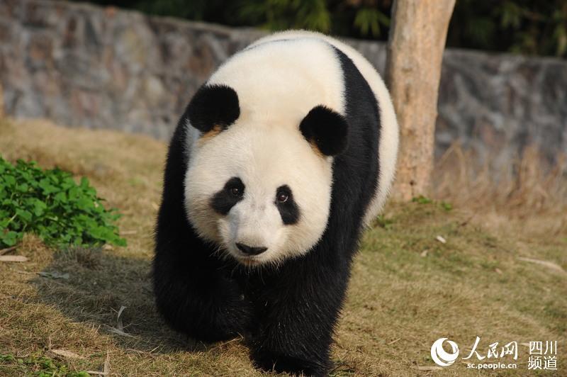 香港海洋公园大熊猫盈盈乐乐首次成功自然交配
