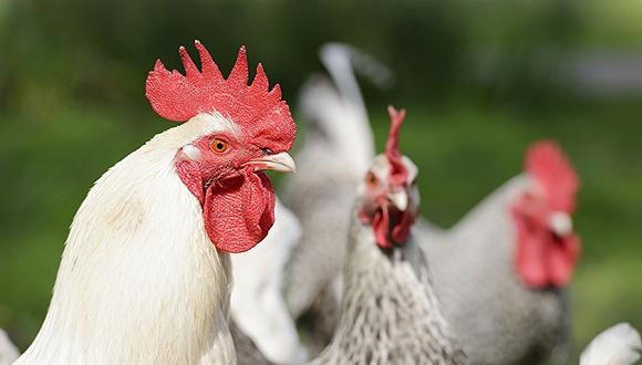 【蓝冠官网】国家畜禽遗传资源目录蓝冠官网公开征求意图片
