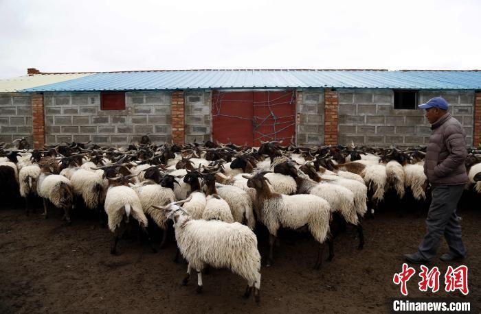 牛羊生产成青海省农牧业主导产业
