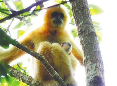 不断加大海南长臂猿保护力度 修复栖息地长臂猿增至30只