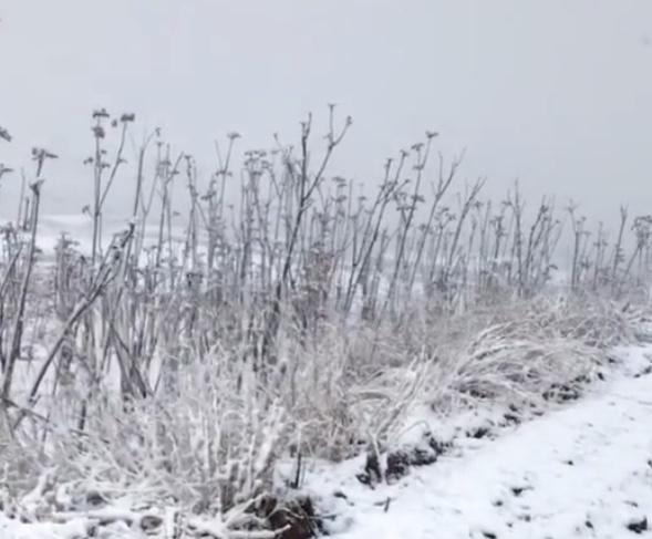 山东潍坊四月飘雪 刚冒芽的香椿遭了殃?图片