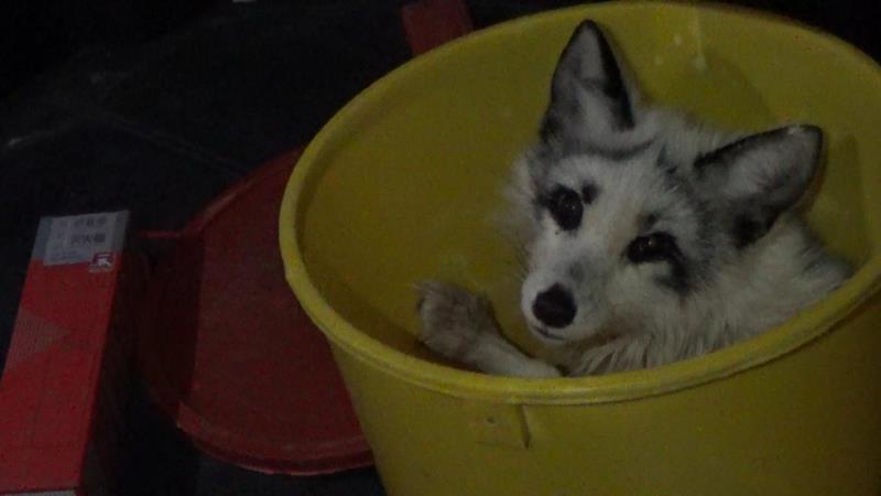 大兴居民马路中间捡受伤白狐,野生动物救助中心已接收图片