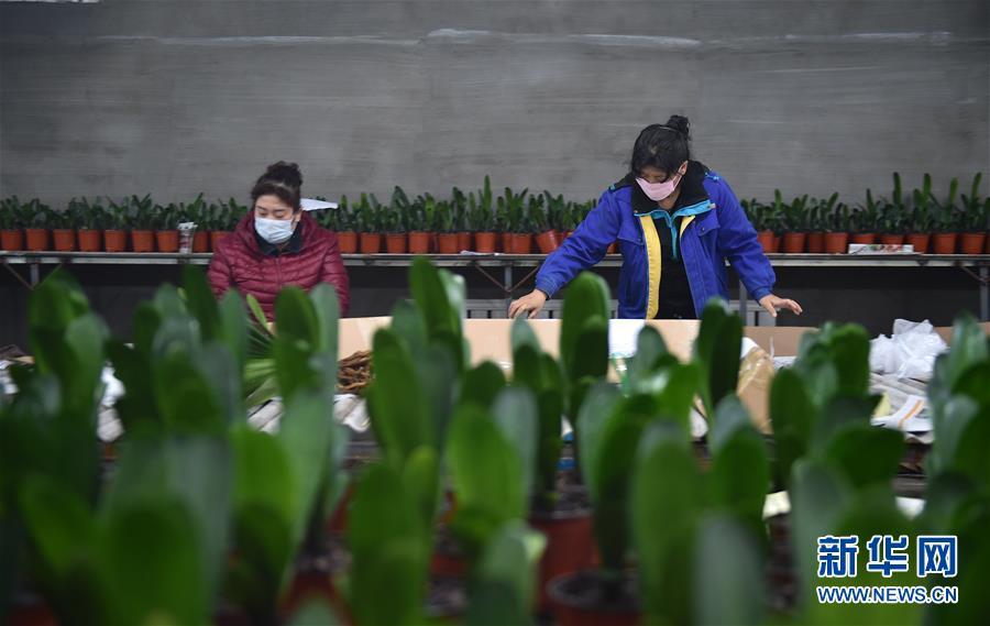 吉林图们:君子兰产业促农户脱贫增收