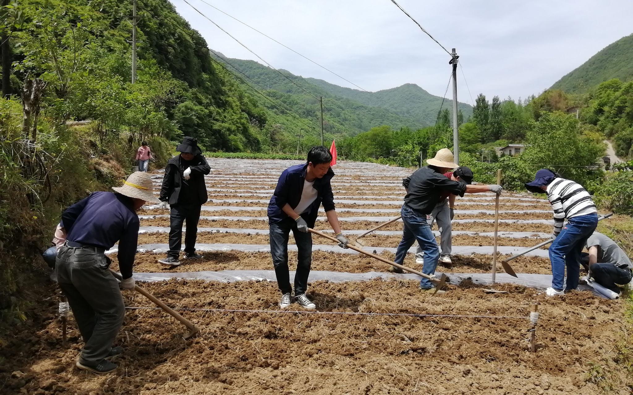 【摩天登录】干部下田摩天登录协助农业图片