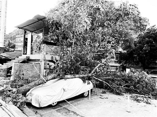 柳石路 大树倒伏压坏轿车