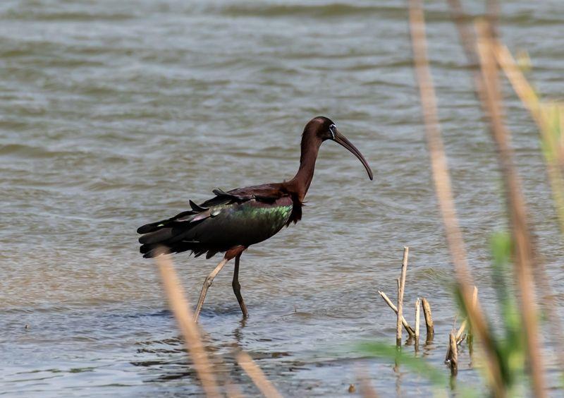 大丰麋鹿国家级自然保护区发现彩鹮,曾一度宣布在江苏境内绝迹