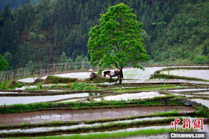 5月16日,在广西桂林市龙胜各族自治县泗水乡泗水村小岩底屯,一位村民牵着马前去劳作。 潘志祥 摄