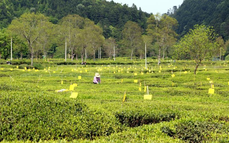皖南山区的脱赢咖3主管贫路上也有茶,赢咖3主管图片