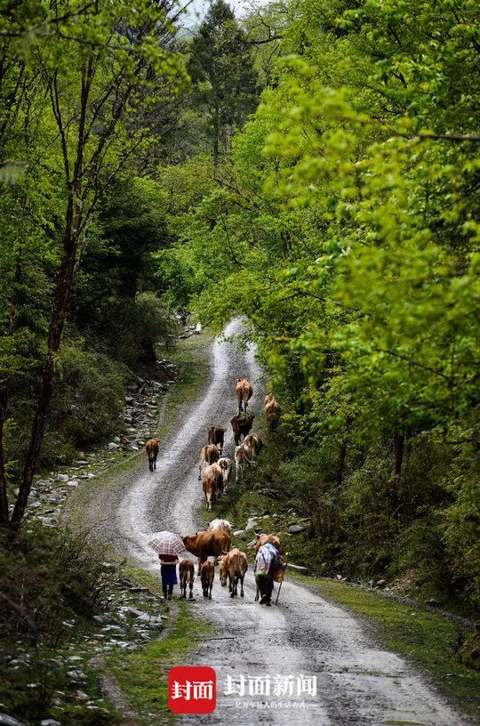 夹金山:村民徒步30公里开启放牧季 牛群涉水过险滩场面惊险