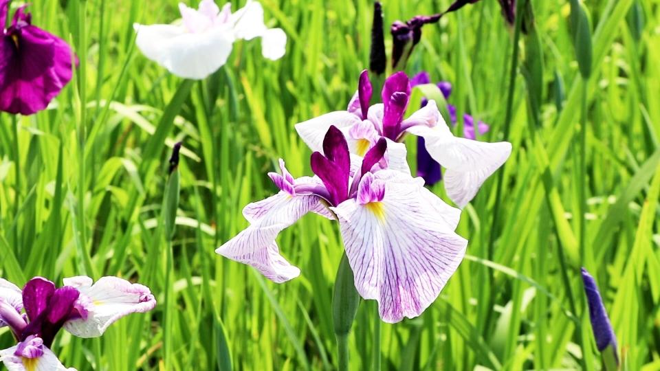 打卡网红新景点 扬州团结湖畔百余种花菖蒲盛开