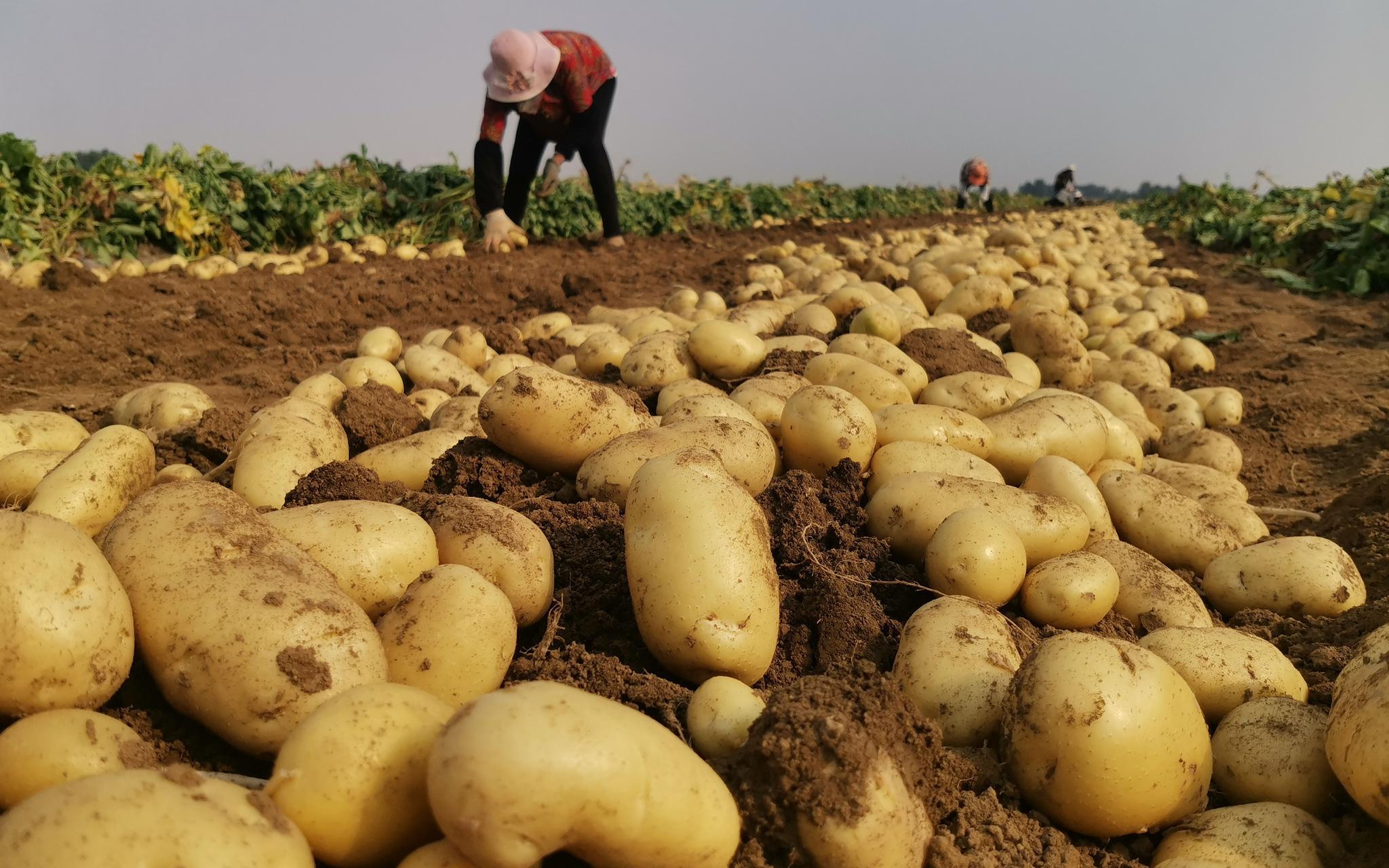 摩天测速:山东看庄摩天测速土豆迎丰收种植图片