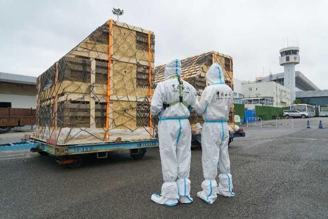 贵阳海关助力2250头丹麦种猪入境:贵州省单次引进种猪突破国内最大量