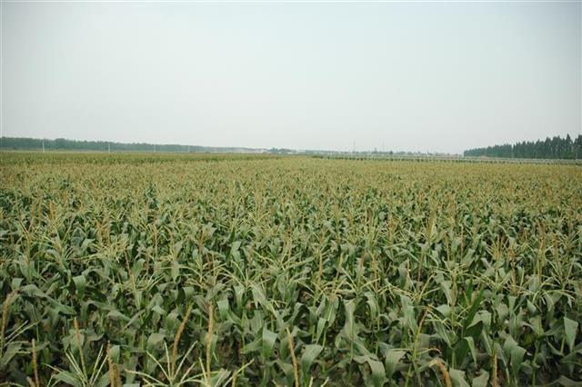 8万亩汉南甜玉米成熟 来汉采购客商将做核酸检测
