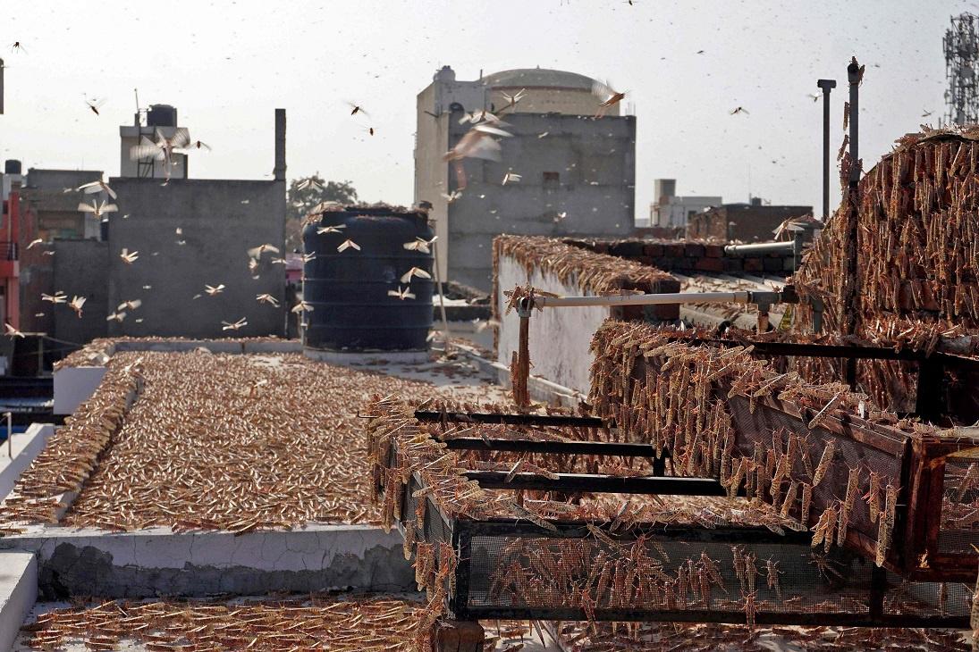 印度遭遇26年来最严重蝗灾,4000万只蝗虫一天能吃掉约3.5万人口粮