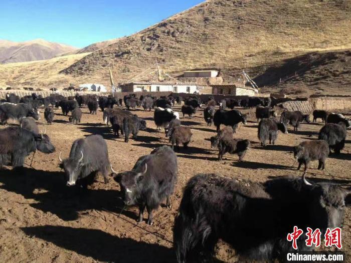 青海农牧业保险提质增效 首次将雪灾纳入保险赔偿责任