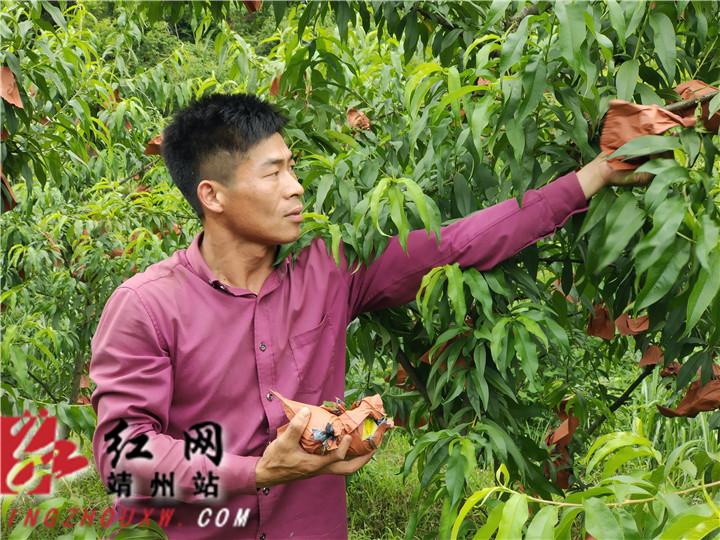 靖州:桃子喜丰收