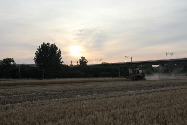 麦子黄灿灿的,好像在向我们报告着成熟的喜讯。《收获的季节》