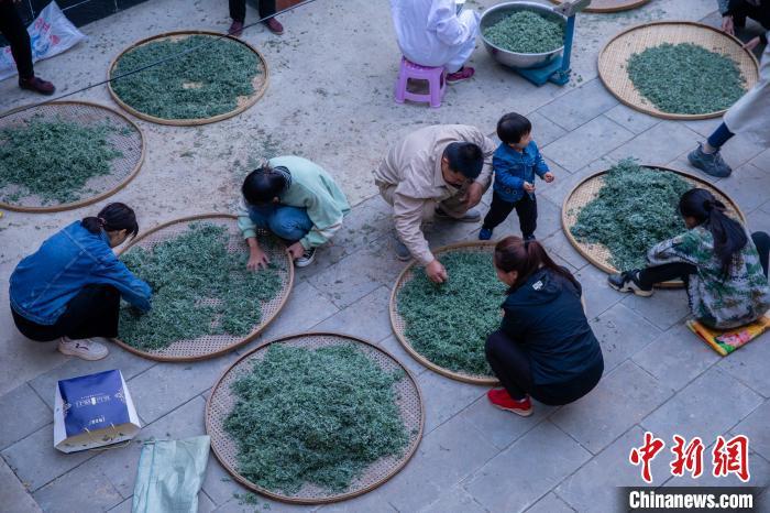 草变药茶带400余名山民天富寻增收新,天富图片