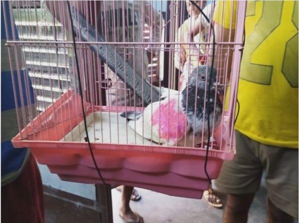 """被印度指控为""""间谍""""的鸽子 原来是巴基斯坦农民的宠物……"""